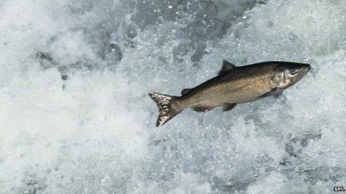 _72807205_z6050371-chinook_salmon-spl