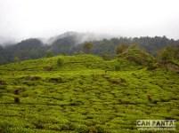 Kebun teh di sekitar Situ Patengan