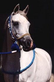 CAHRArabian4