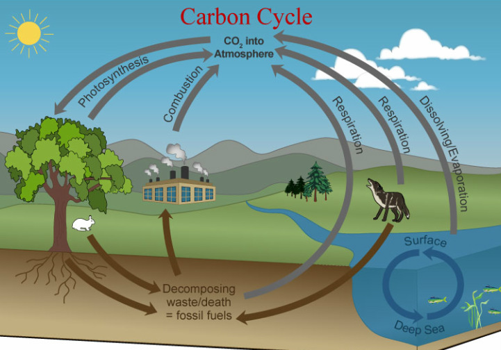 the carbon cycle diagram gcse 1995 ford ranger stereo wiring castell alun high school biology
