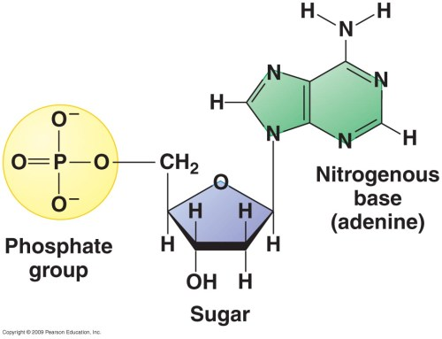 small resolution of the diagram above show the structure of a nucleotide these are the monomers that make up polymers such as dna