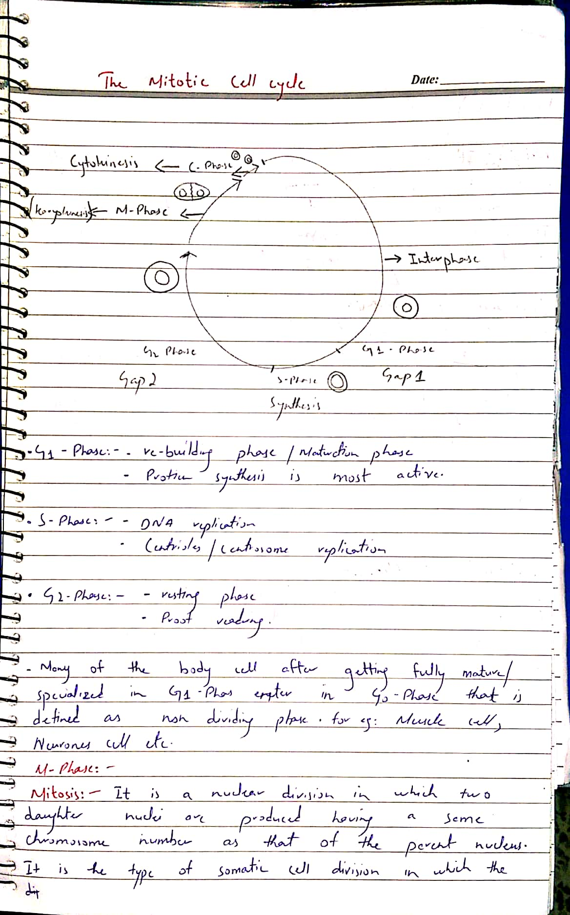 mitotic cycle._1