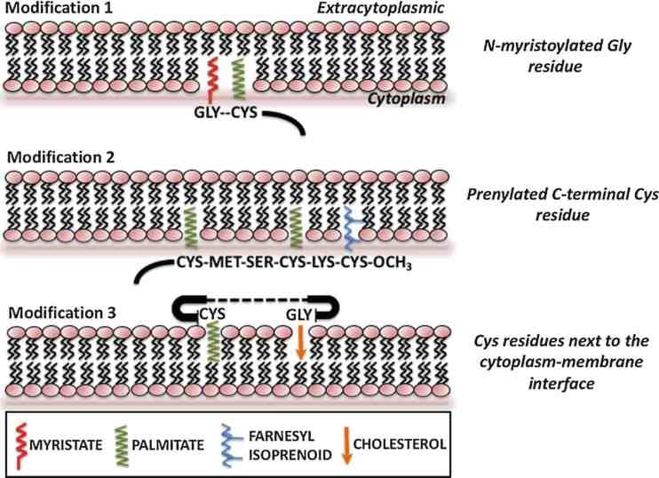 Residu asam lemak asam miristat, asam prenilat, dan asam palmitat yang berikatan dengan membrane associated protein.