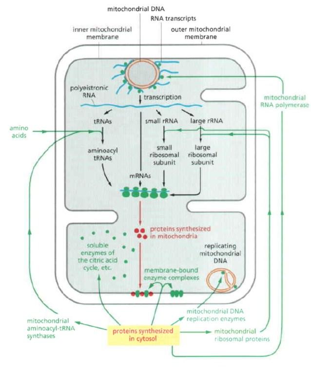 Asal protein dan RNA dari mitokondria