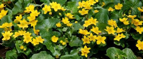 Marsh marigold or Lus buidhe Bealltainn