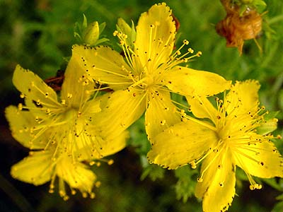 St Johns Wort - flower of Johnsmas