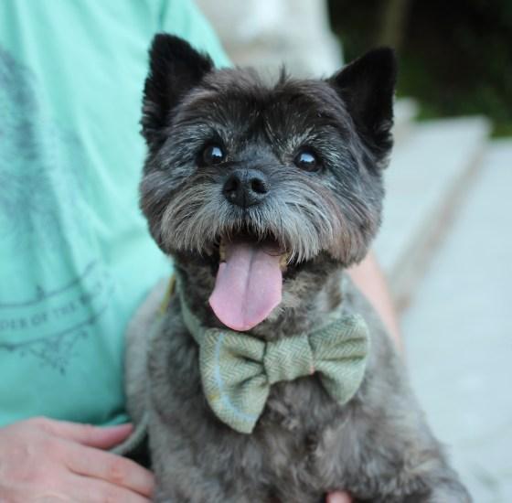 Cairn Terrier wearing a Green Tweed Bow Tie