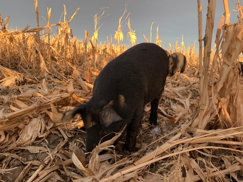 Pigs at Black Cat Organic Farm graze on organic plants.