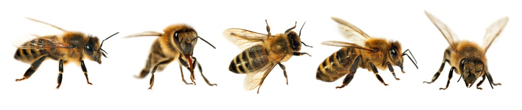 Honeybees in a row