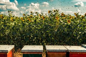 Bees needed for biodiversity