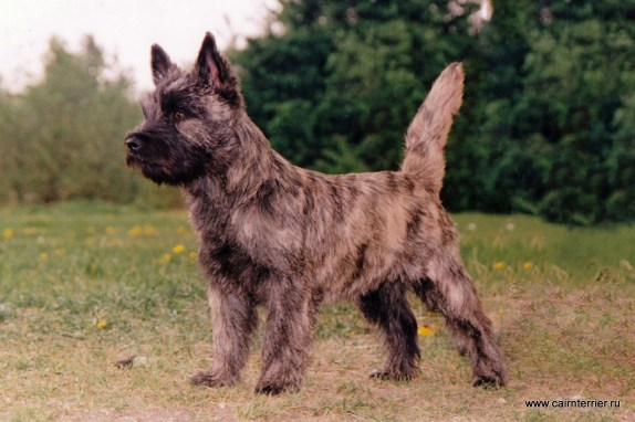 Cairn terrier kennel Elivs Gosha (9)