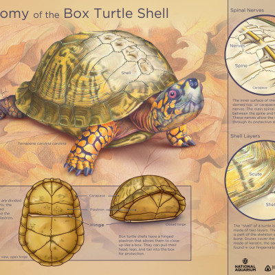 Anatomy Of The Box Turtle Shell / Colored Pencil, Photoshop