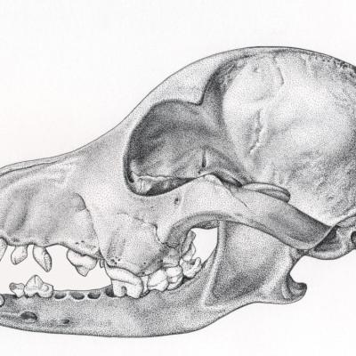 Canine Skull / Pen & Ink