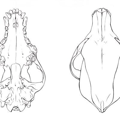 Canine Skull, Dorsal, Ventral / Pen & Ink