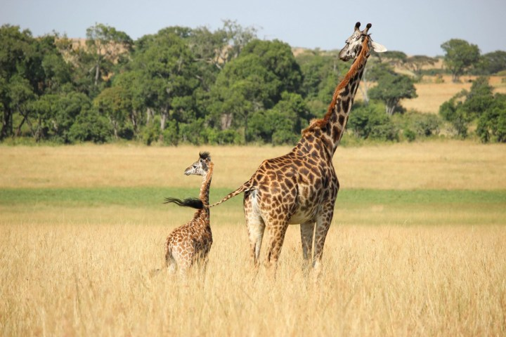 Giraffes in Safari