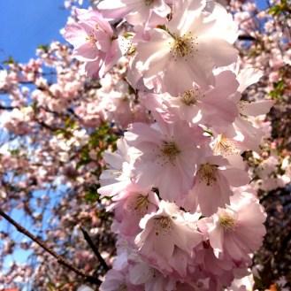 CherryBlossoms1