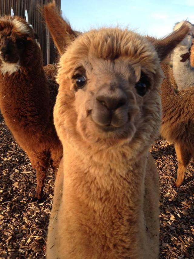 alpaca, alpaca cake, smiling alpaca