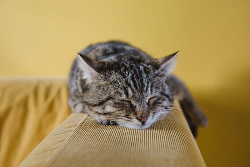 penyebab kucing muntah