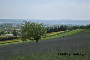 ファーム富田・彩りの畑のラベンダー