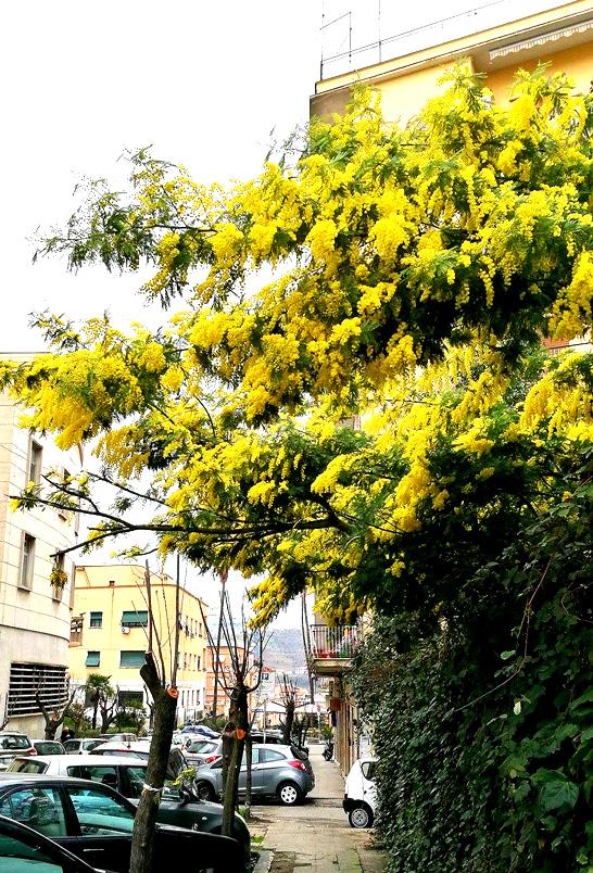 mimosa-cosenza