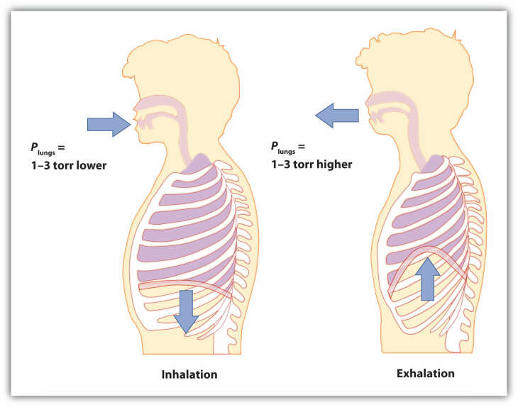 hight resolution of breathing involves pressure differences between the inside of the lungs and the air outside the pressure differences are only a few torr