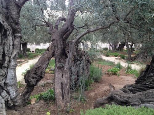 Maslinul din gradina unde a fost arestat Isus