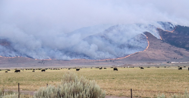 Mountainside burning behind cattle grazing