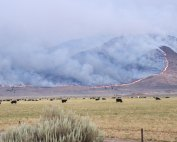 Mountainside burning behind cattle grazing