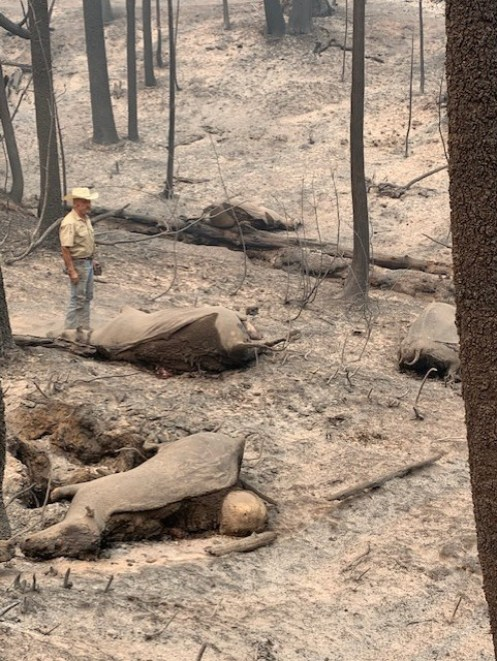 Rancher observing damage to land, cattle and legacy post fire.