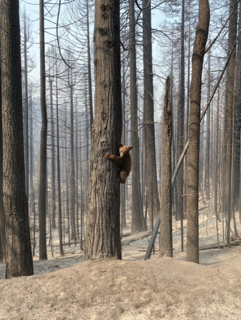 A bear cub post fire