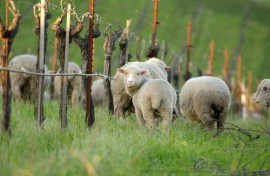 sheep grazing at RSV