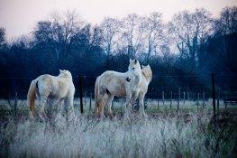 promenade-caleches-camargue-chevaux-hiver