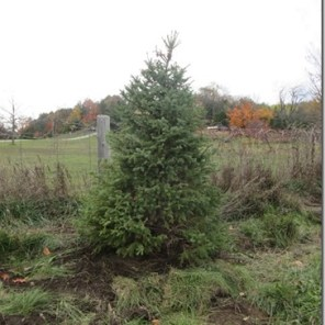 Hockley Valley Parking Lot New Spruce Tree