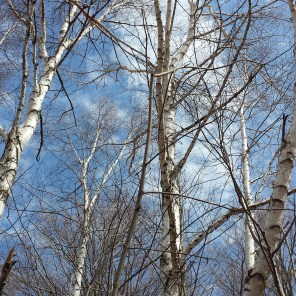 The birches above