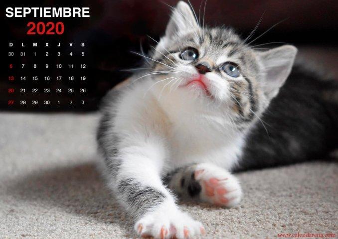 wallpaper de gatito para el calendario de septiembre de 2020_3