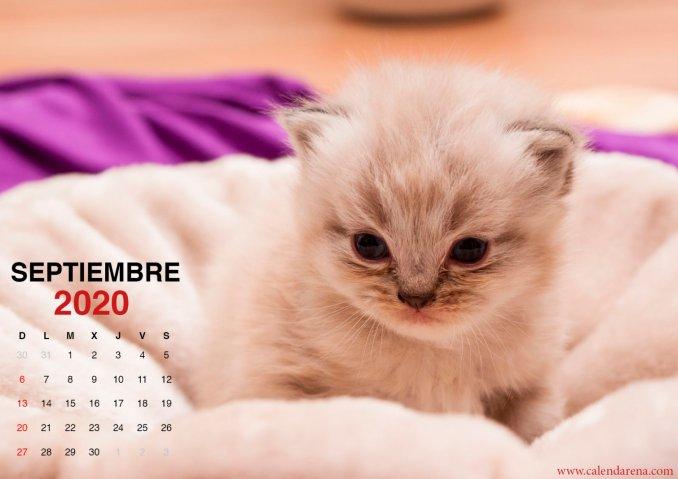 wallpaper de gatito para el calendario de septiembre de 2020_4