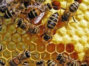 calendrier lunaire nature animaux apiculture abeilles