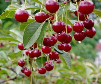 calendrier lunaire fruits cerisier
