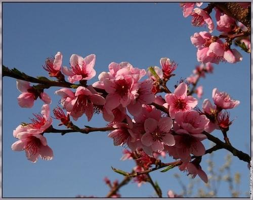calendrier lunaire - fleurs du pêcher