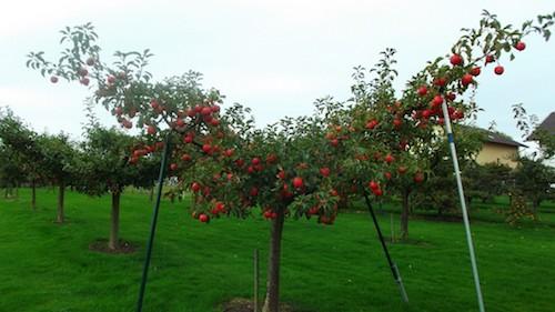 pommiers trop charges en fruits - etayer
