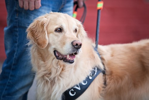golden_retriever_profile_photo_guide_dog