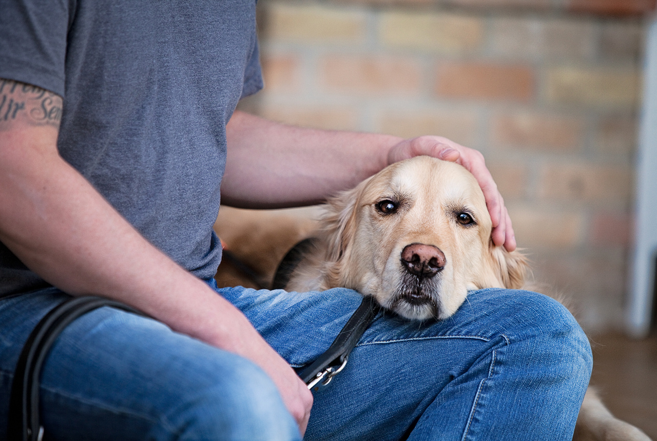 golden_retriever_dog_seeing_eye_dog
