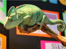 chameleon2 thumb