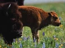 thumb bison tb