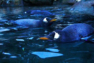 penguinsswimedit