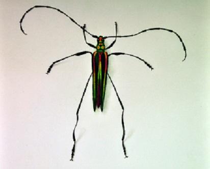 Longhorn-beetle Callichroma-saturale