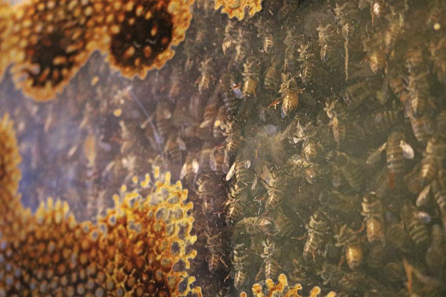 Close up of bees edi webt