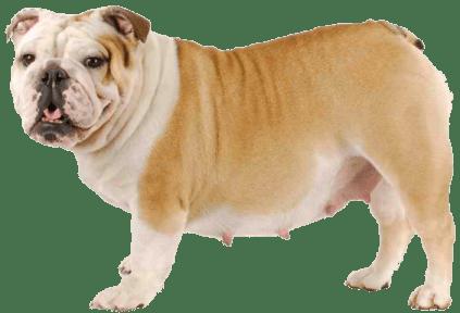 La infertilidad en una perra
