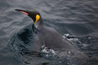 penguin-dark swim