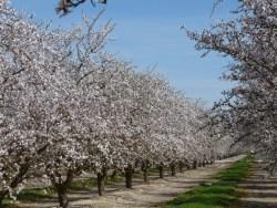 Merivon Fungicide Registered for Almonds in California